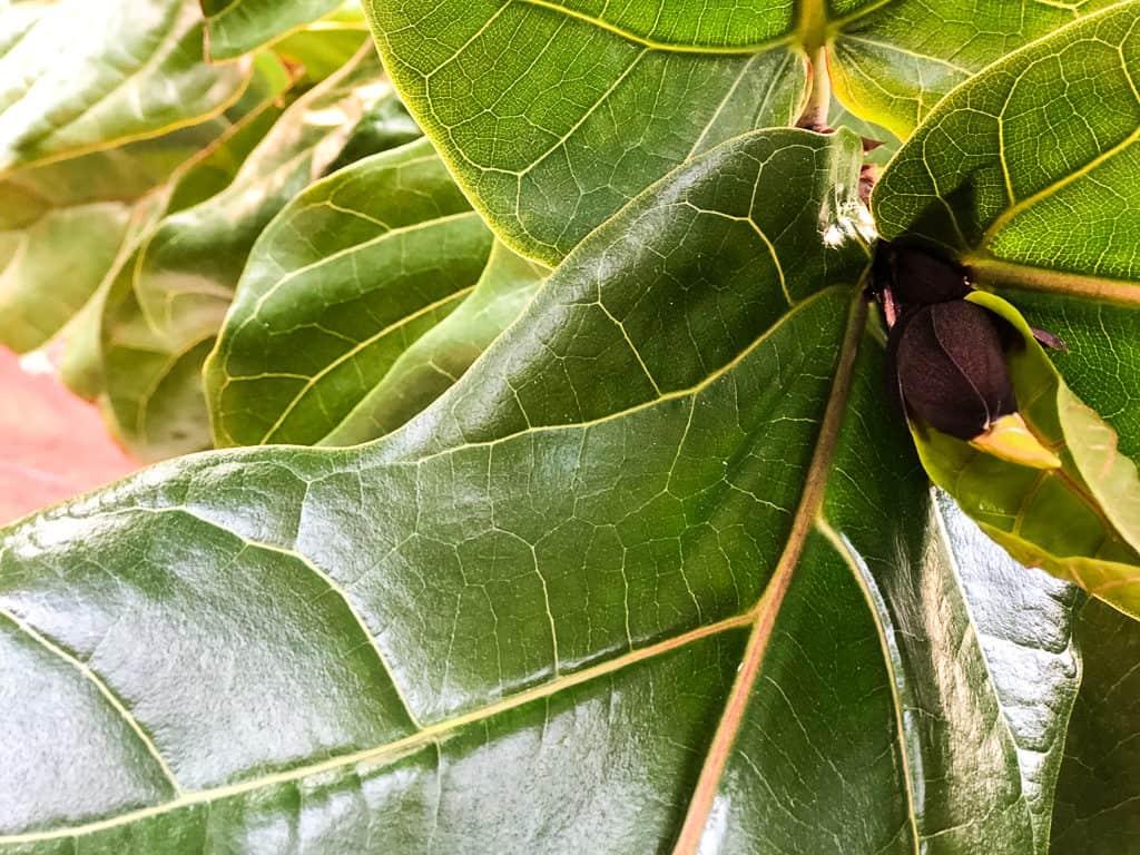 Fiddle leaf fig growth