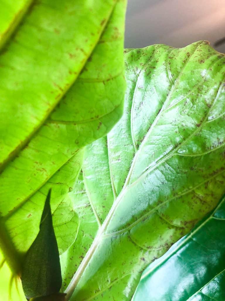 Fiddle leaf fig red spots
