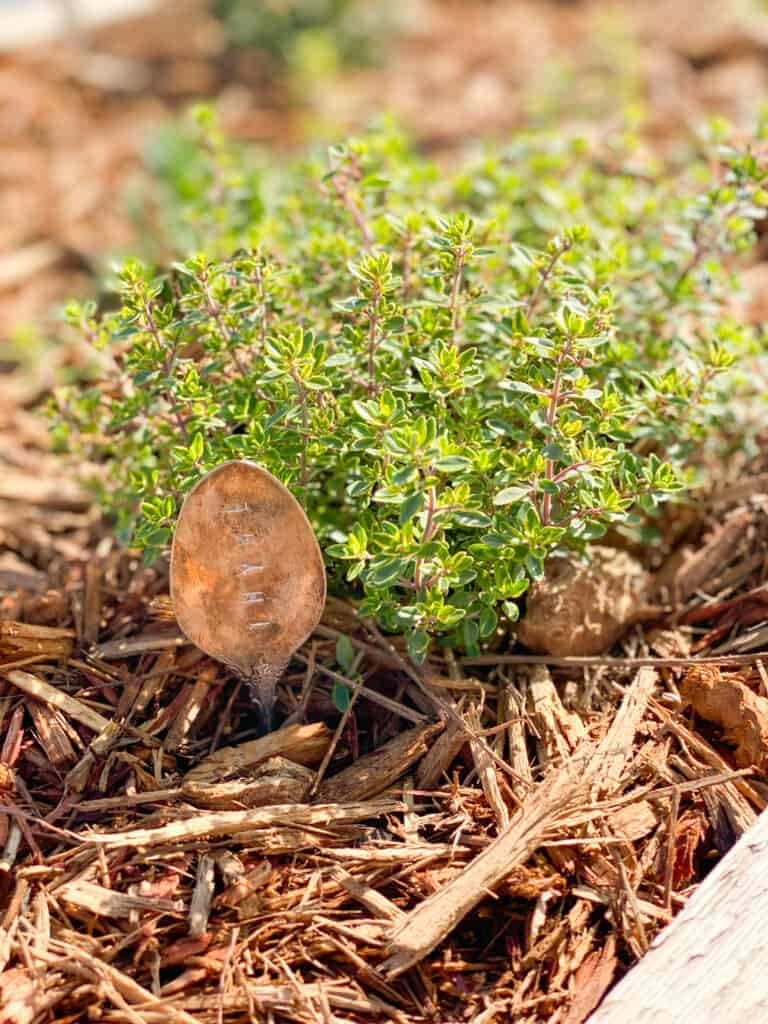 Thyme plant in herb garden with antique spoon plant marker by fearlessdiy